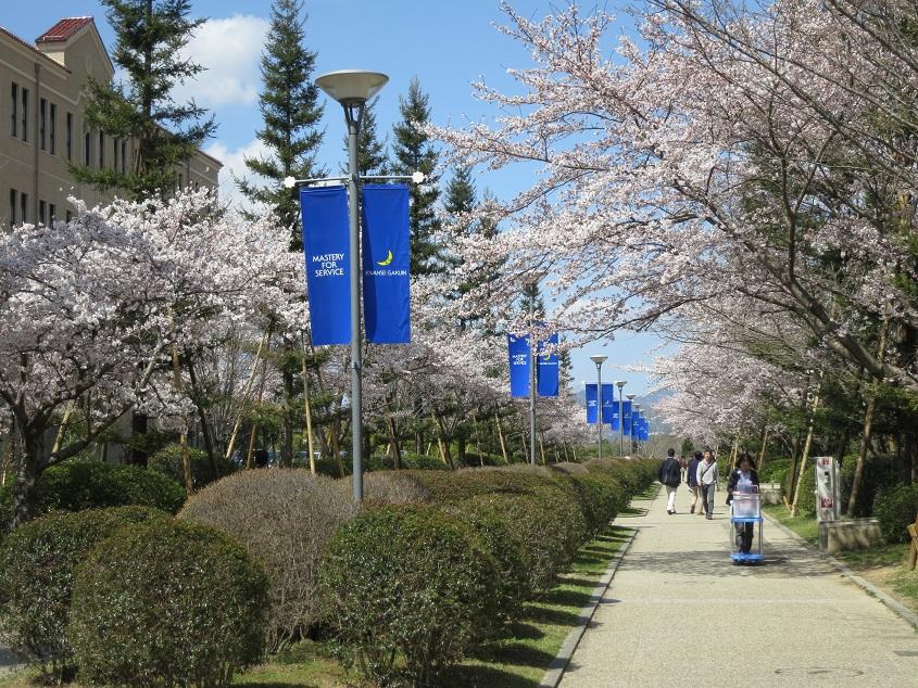 2015.04.02 神戸三田キャンパスは桜が満開です